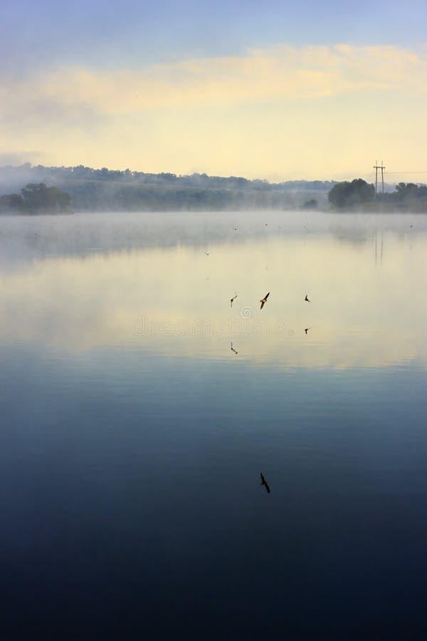 Swifts à superfície da àgua foto de stock