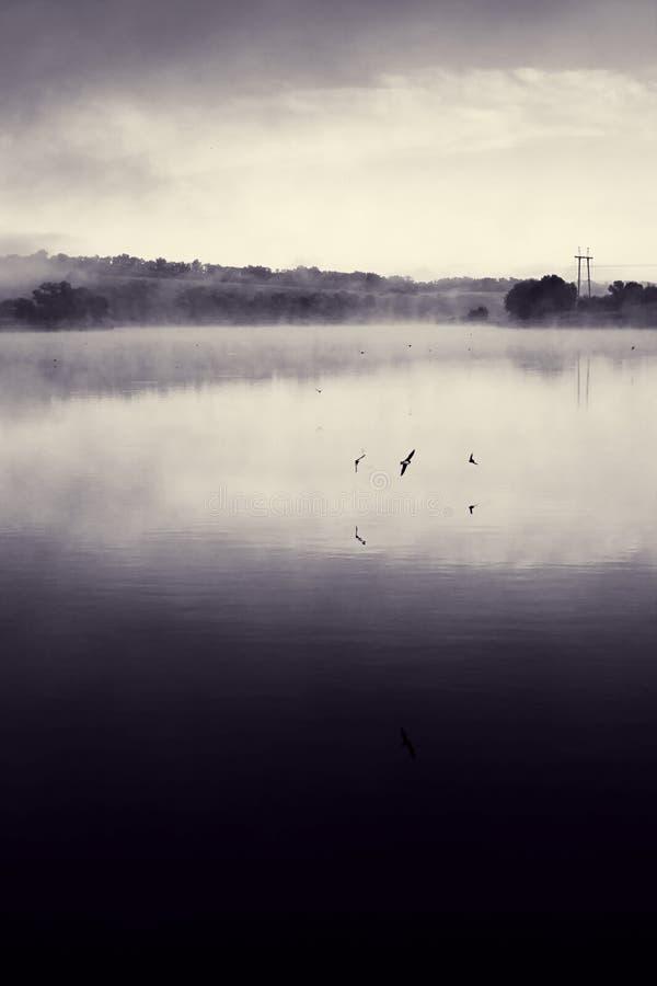 Swifts à superfície da àgua imagem de stock