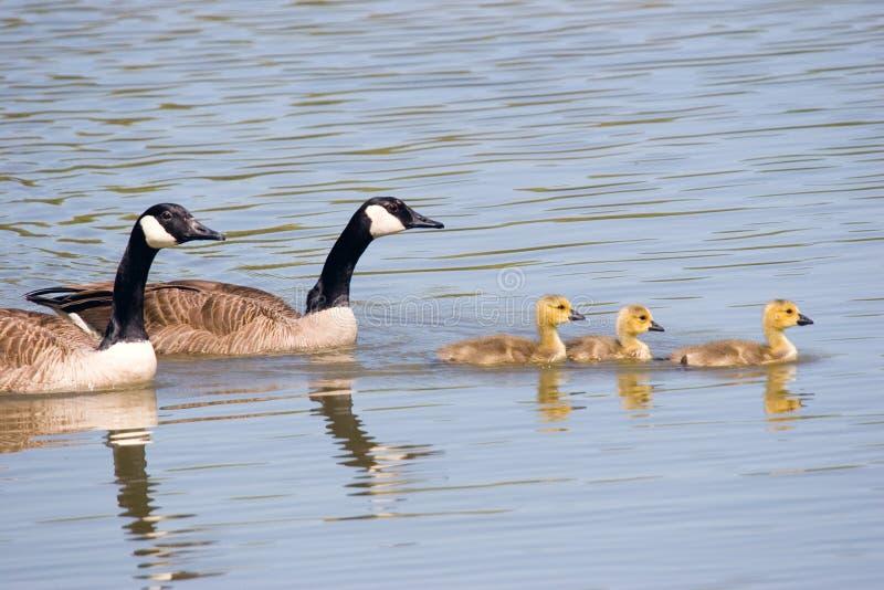 swim гусыни семьи Канады стоковое изображение
