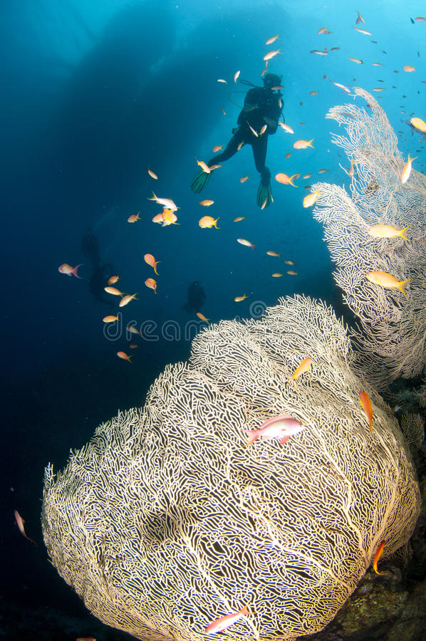 swim скуба вентилятора водолазов коралла шлюпки вниз стоковая фотография