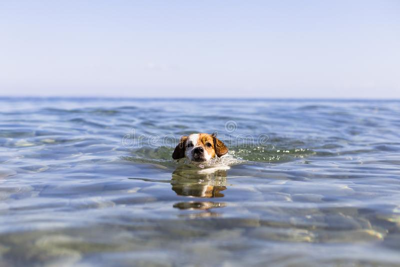 Swim, fun, wet, water, aquatic, sea, animal, companion, mutt, soaked, outside, dripping, blue, pure, wide, beach, playing, friend. Cute small dog swimming in stock images