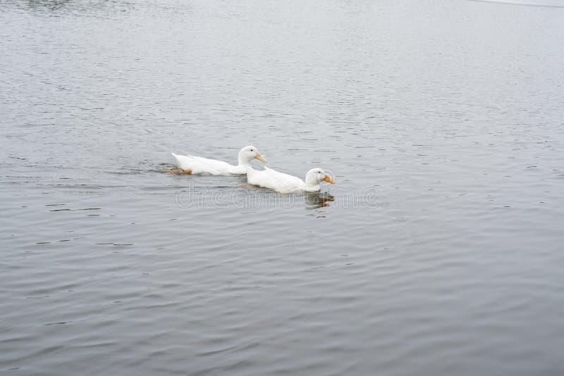 Swimimg för två svanar arkivbilder