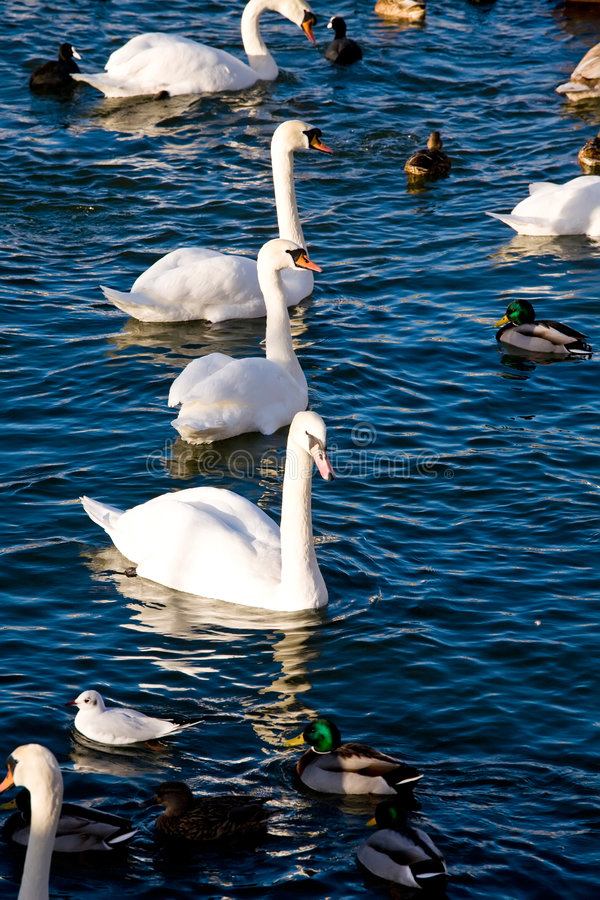 Download Swiming birds in Stockholm stock photo. Image of outdoors - 6799874