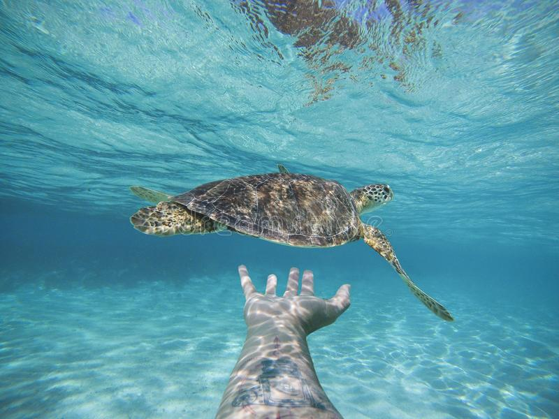 Swiming with turtles stock photos