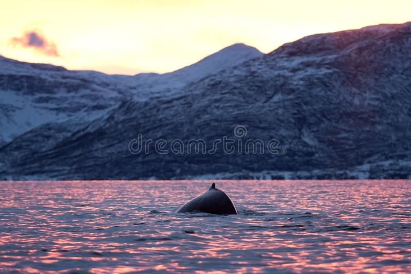 Humpback whale, megaptera novaeangliae, Norway. Swiming whale. Whale on the surface. Hunting humpback whale. The dorsal fin of the whale. Winter in Norway royalty free stock images