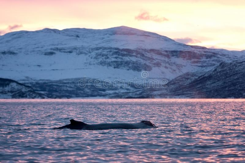 Humpback whale, megaptera novaeangliae, Norway. Swiming whale. Whale on the surface. Hunting humpback whale. The dorsal fin of the whale. Winter in Norway stock photography