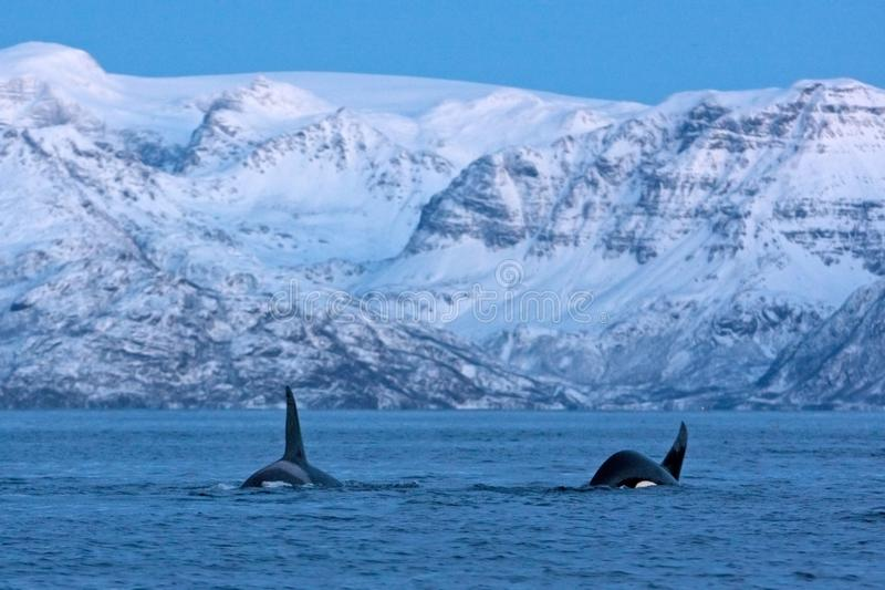 Killer whale, orca, orcinus orca. Swiming whale. Whale on the surface. Hunting killer whale. The dorsal fin of the whale. Winter in Norway. Norway coast. Back of royalty free stock images