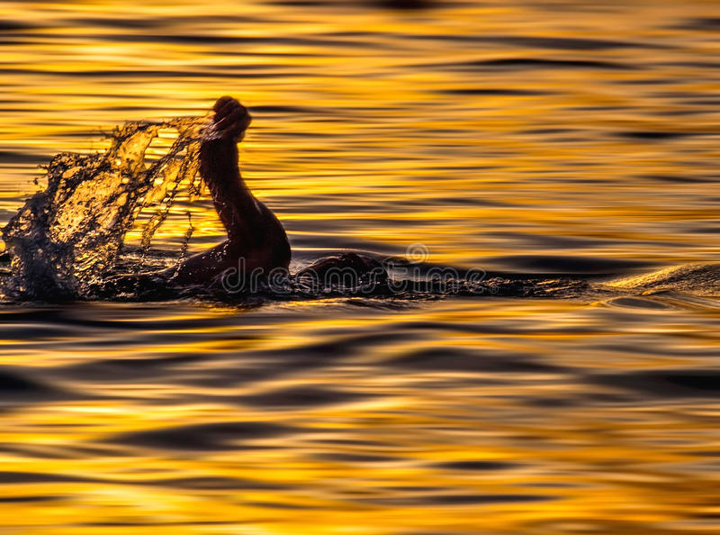 Swimmer in sunset. A view of a swimmer silhouette Hand in movement drops, and droplets - Croatia-Dalmatia at sunset in golden Adriatic sea. Horizontal color royalty free stock image