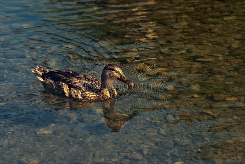 Swimmig鸭子 库存图片