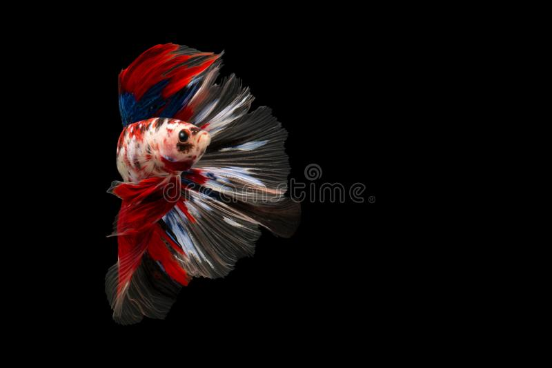 Swimming Action of Betta, Siamese fighting fish, Colourful Betta. Swimming Action of Betta, Siamese fighting fish, Colorful Betta, pla-kad biting fish Thai royalty free stock photography