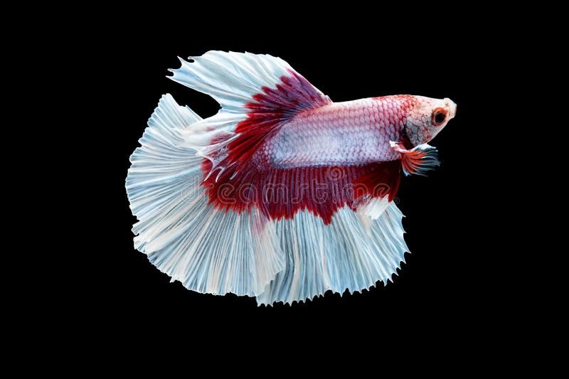 Swimming Action of Betta, Siamese fighting fish, Colourful Betta, pla-kad biting fish Thai; Halfmoon red and white betta royalty free stock image
