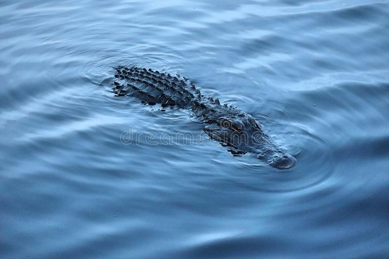 The swimming alligator with beautiful eyes and skin stock photography
