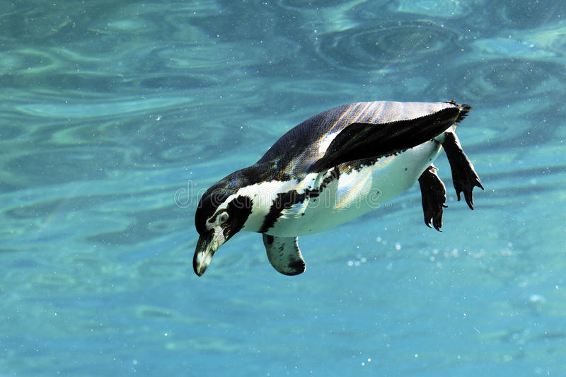 Swimming auk. Auk swimming in water in a zoo royalty free stock photo