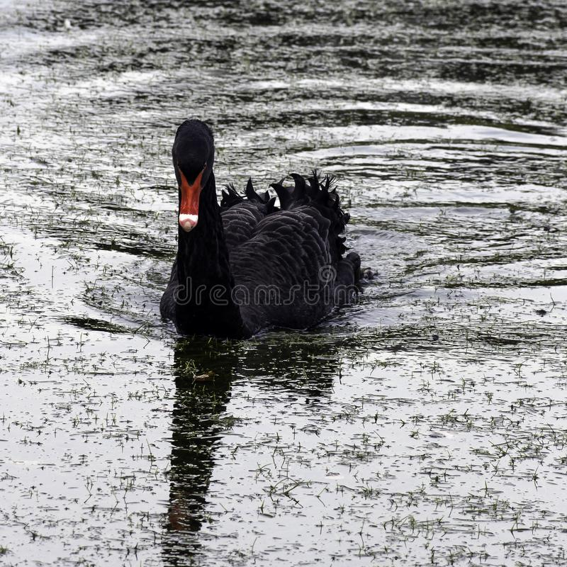 Free Swimming Black Swan At Claremont Landscape Garden, Surrey, UK Royalty Free Stock Photos - 111871238