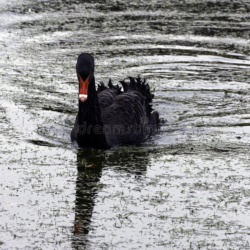 Swimming black swan at Claremont Landscape Garden, Surrey, UK royalty free stock photos