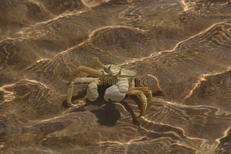 Download Swimming crab stock image. Image of crab, eyes, send - 21147665