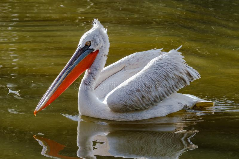 Beautiful feathered Dalmatian Pelican swimming in a pond. Dalmatian Pelican in beautiful morning light in a pond in the Rotterdam Zoo stock photos