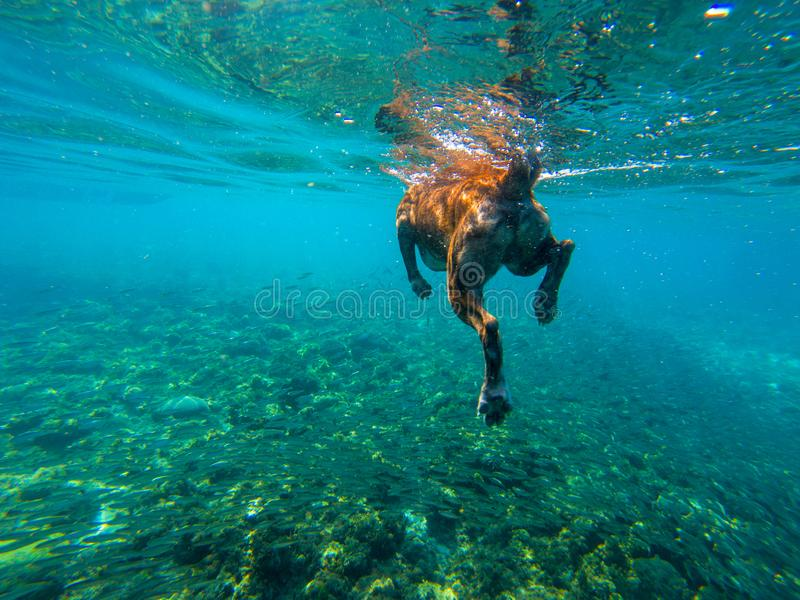 Swimming dog in blue sea water, underwater photo. Dog swim in tropical sea. Summer vacation travel with pet. Dog companion for swimming. Domestic animal royalty free stock photos