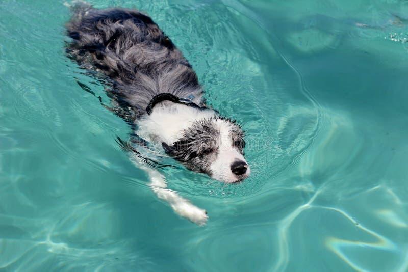 Swimming dog - border collie royalty free stock photo