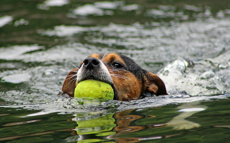 Swimming dog royalty free stock images