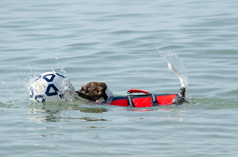 Swimming Dog Rescues A Ball Stock Images