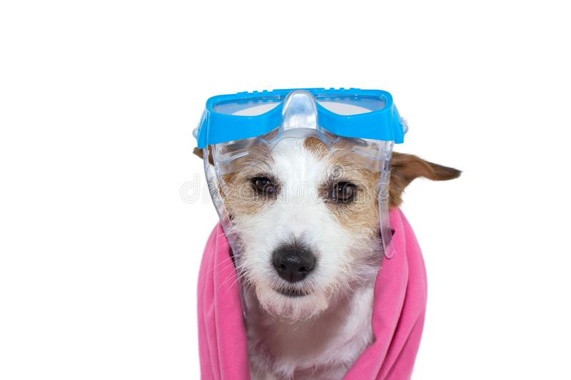 SWIMMING DOG. JACK RUSSELL PUPPY WITH GOGGLES AND A PINK TOWEL. ISOLATED SHOT AGAINST WHITE BACKGROUND stock photography