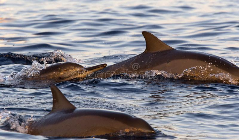 Swimming dolphins in the sea. Diving dolphins in the sea at Lovina, Bali royalty free stock photo