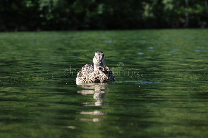 Download Swimming Duck stock image. Image of quack, swimming, duck - 26523