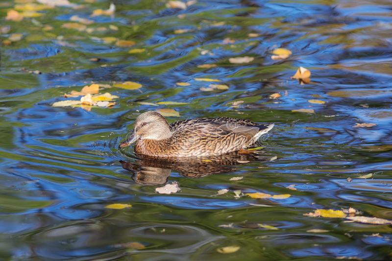 Swimming duck in autumn water royalty free stock image