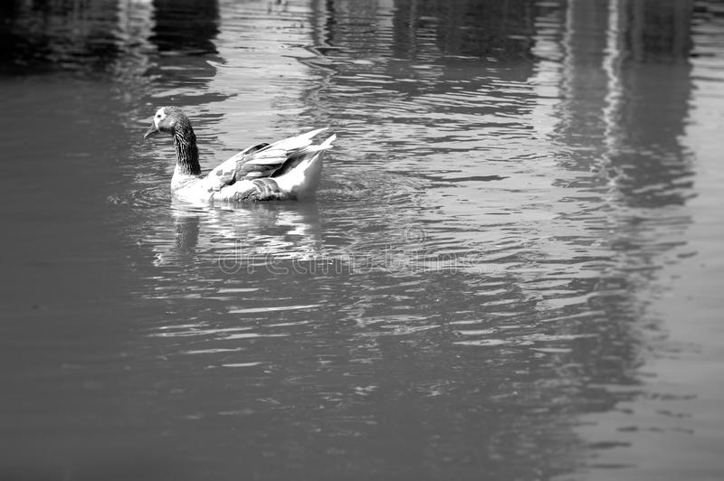 Swimming duck in a calm lake in black and white stock photo