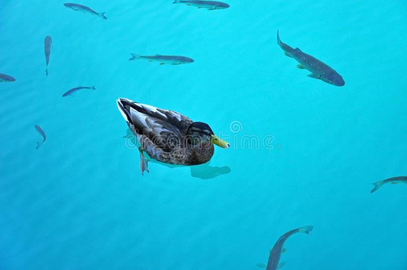 Swimming duck and fishes in Plitvice lake royalty free stock image