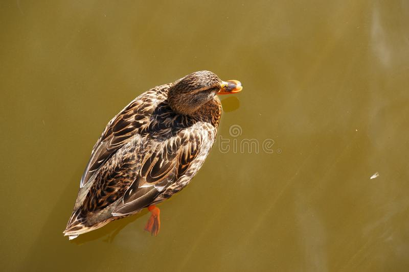 Swimming duck isolated dark water. Swimming duck isolated top view brown feathers dark water yellow beak feet stock images
