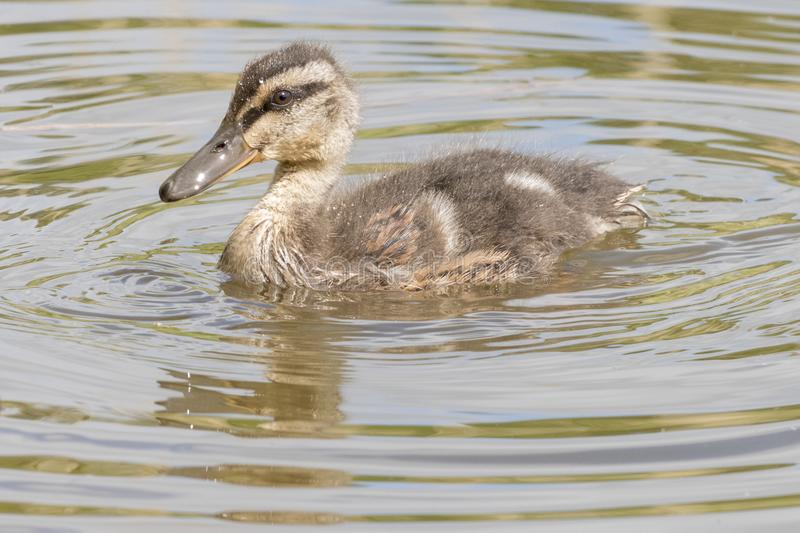 Download A Swimming Duckling With Reflection Stock Image - Image of baby, southampton: 116468405