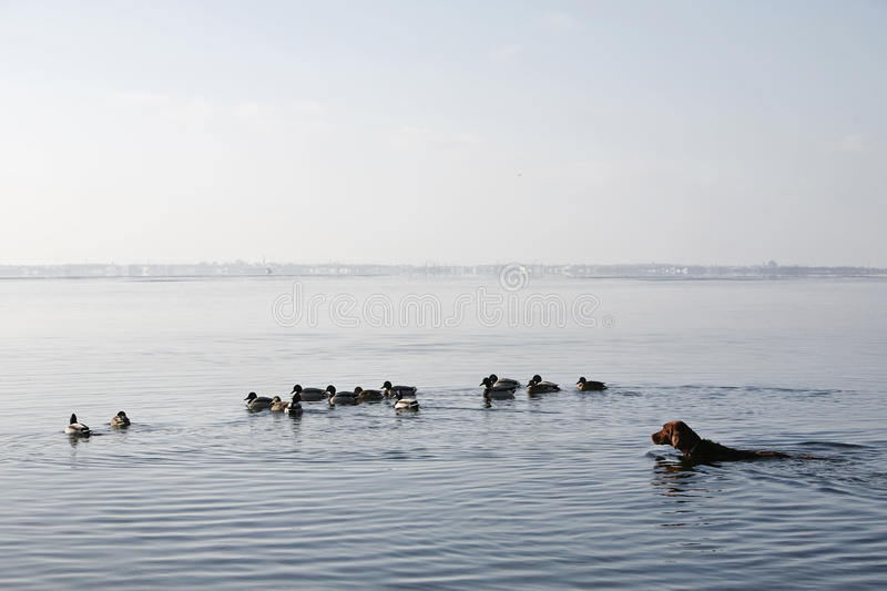 Swimming with ducks royalty free stock photos