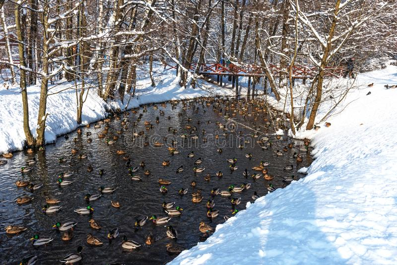 Swimming ducks in a frozen pond during a snowfall in winter. Wonderful winter scene royalty free stock photography