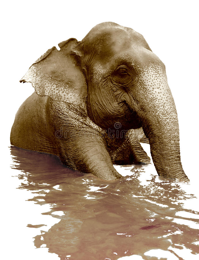 Free Swimming Elephant Royalty Free Stock Image - 13209556