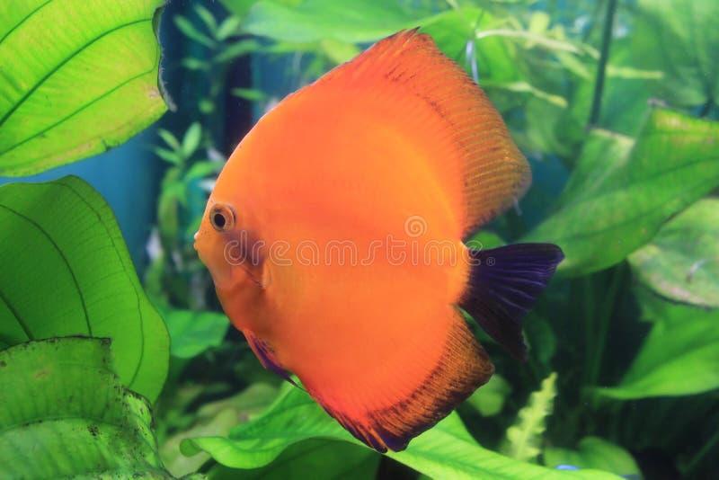 Swimming fish royalty free stock image