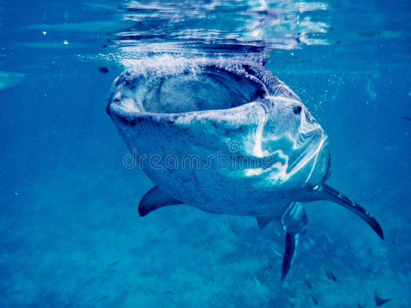 Swimming With a Gentle Giant. Taking a dip with the biggest fish in the sea- the whale-sharks. However, the one shown here is just a juvenile one. Yet, it is royalty free stock photography