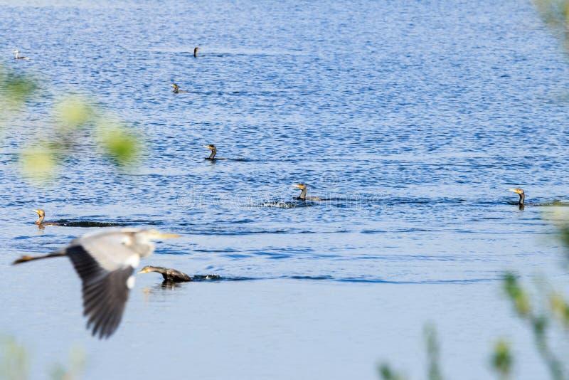 Swimming great cormorants, Rammelwaard, Holland royalty free stock images