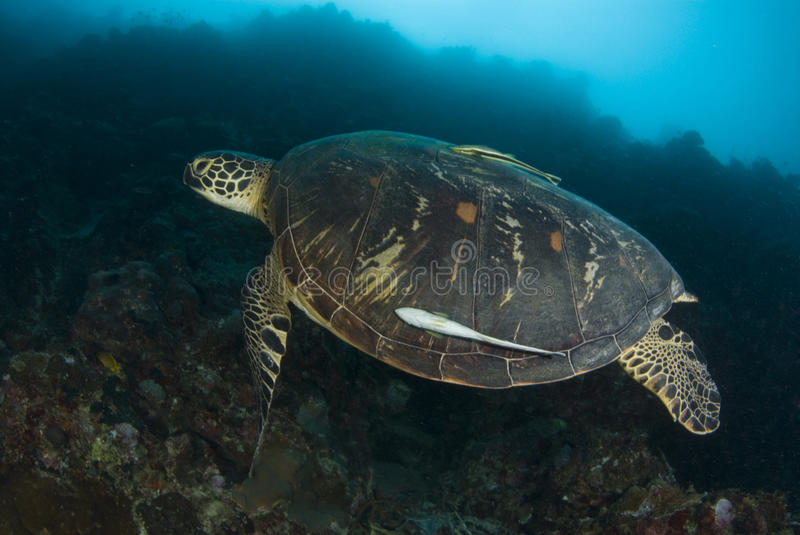 Download Swimming Green Sea Turtle stock photo. Image of ocean - 9843072