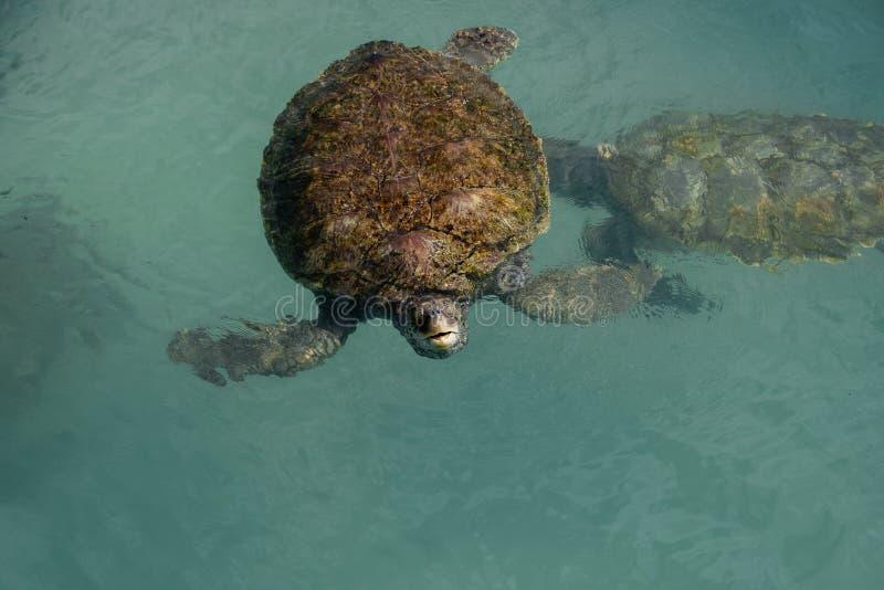Swimming Green Sea Turtle i Grand Cayman arkivfoton