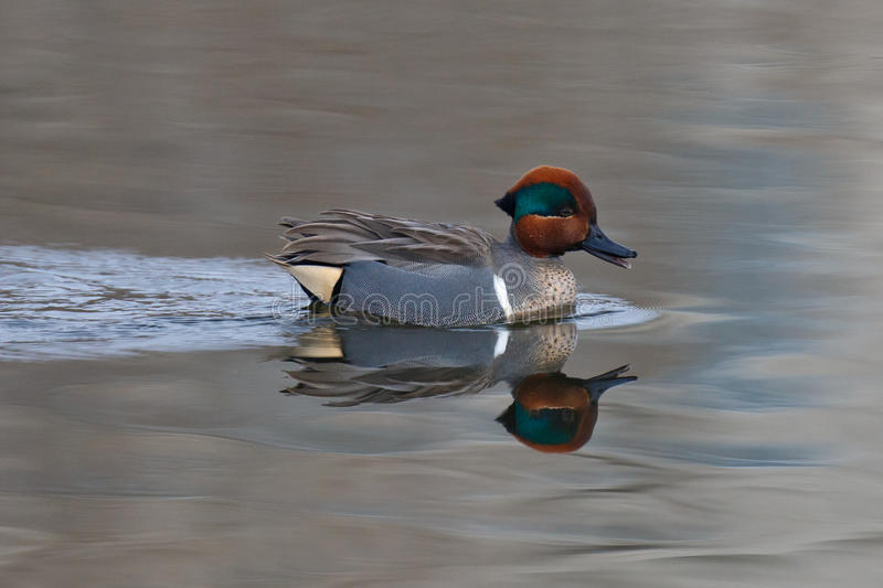 Swimming Green Teal royalty free stock images