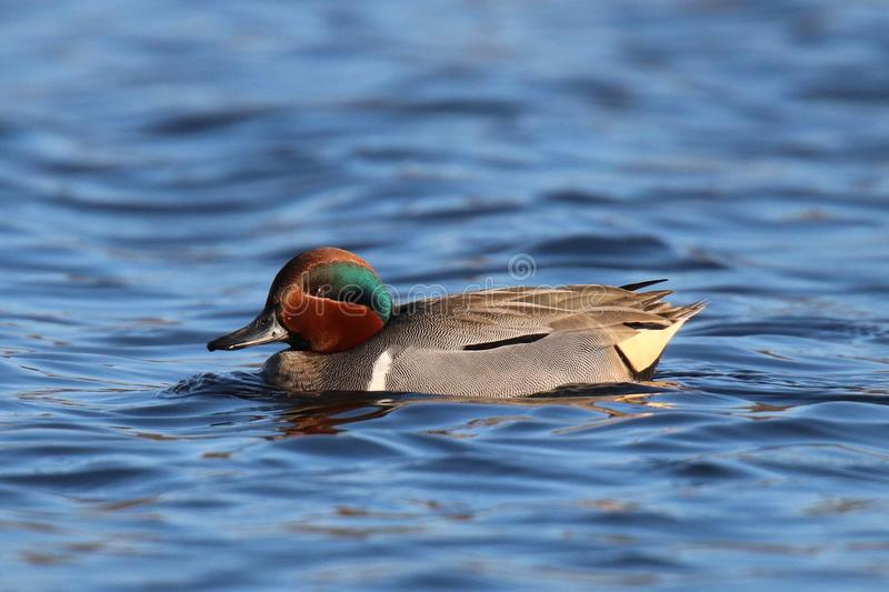 Swimming Green Winged Teal. A green winged green winged teal Anas crecca swimming on blue water. A small dabbling duck. The vertical white shoulder mark on the stock images