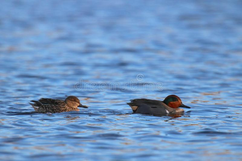 Swimming Green Winged Teal Pair stock image