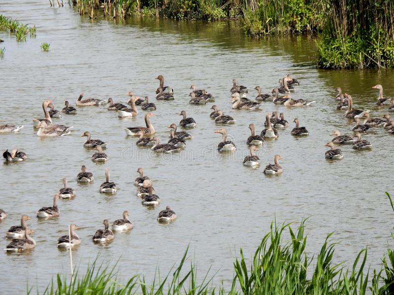 Swimming greylag geese – crèche with boy and adult birds. Oostvaardersplassen - Netherlands stock photos