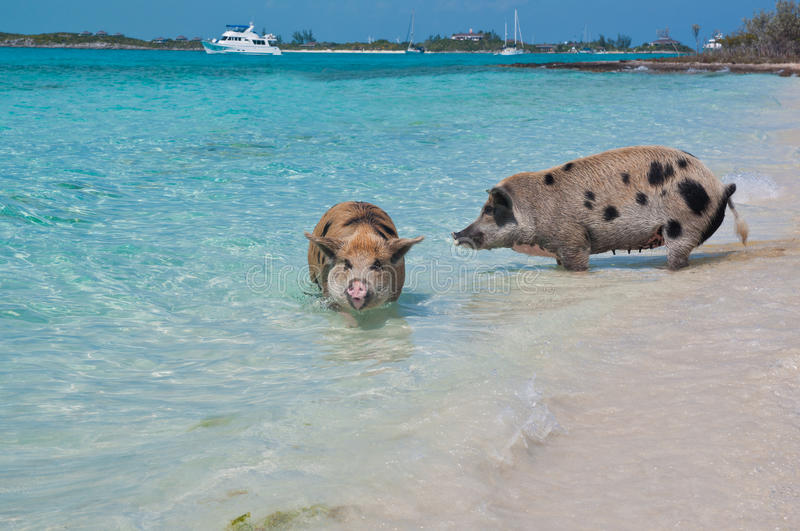 Swimming Island Pigs royalty free stock photo