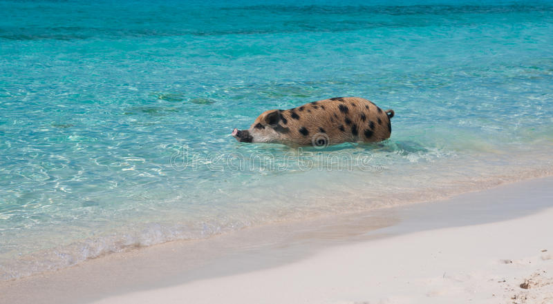 Island Pigs stock image  Image of funny, major, caribbean
