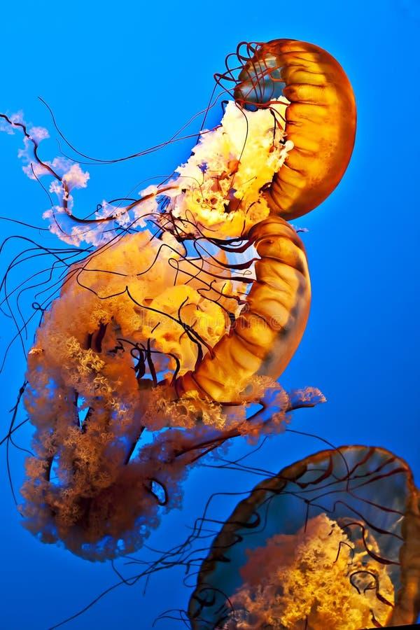 Swimming jellyfish stock photo