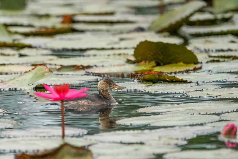 A swimming juvenile dabchick Little grebe with soft focus foreground of pink lotus. Thailand stock image