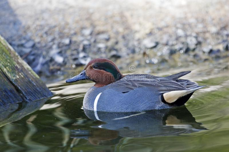 A Swimming male Green-winged Teal, Anas carolinensis stock photography